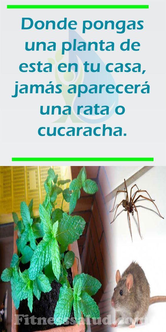 Como Acabar Con Las Ratas En El Jardin Donde Pongas Una Planta De Estas En Tu Casa Nunca Jamas Aparecera