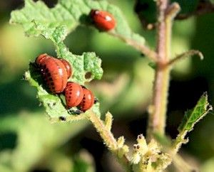 Colorado or Potato Beetle: An absolute pest in the garden that keeps returning year after year. No home remedy worked - and I needed to keep my food organic. Found this solution: http://www.goodbyecitylife.com/organic-pesticides/ (re: tomato, potato, nightshade)