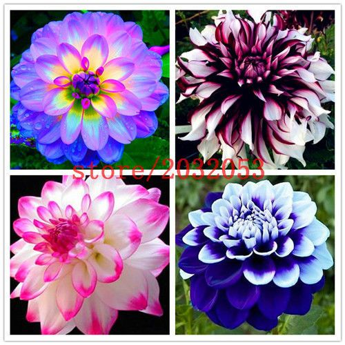 Dahlia Seeds Mix Bonsai Flower Seeds Bright Blue Dahlia Flowers 100pcs Unbrandedgenenic Flower Seeds Garden Plant Pots Bonsai Flower