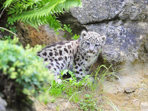 """Junger Schneeleopard """"Mohan"""" im Zoo Zürich - Bild & Foto von tier-photographie aus Tierkinder - Fotografie (29389153)   fotocommunity"""