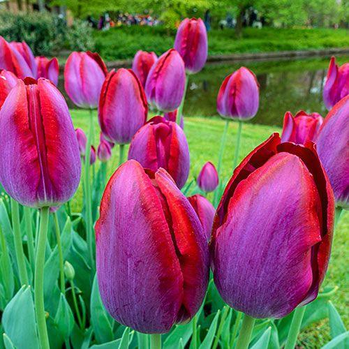 Pittsburg Tulip 10 Per Package Bulb Flowers Long Lasting Flower Tulips