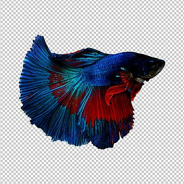 Betta Fish Fish Thailand Png Transparent Clipart Image And Psd File For Free Download Betta Fish Betta Betta Fish Png Betta fish wallpaper gif betta fish gif