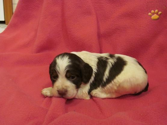 Cockapoo Puppies For Sale Lancaster Puppies Cockapoo Puppies Cockapoo Puppies For Sale