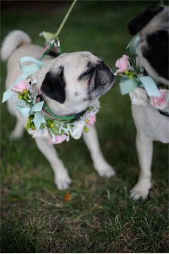 Little pug stops and smells the flower corsages
