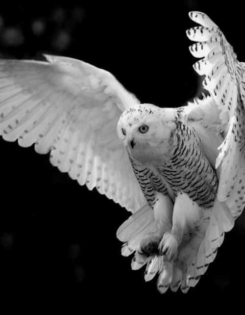 Snowy Owl posted by Absinthius - HugsForBears