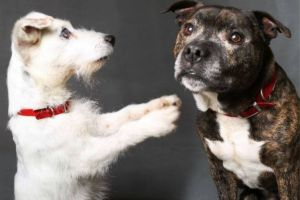 Blind Jack Russell and his guide dog inseparable after being abandoned