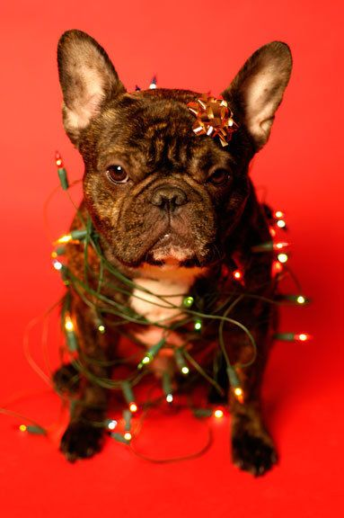 French bulldog christmas pictures