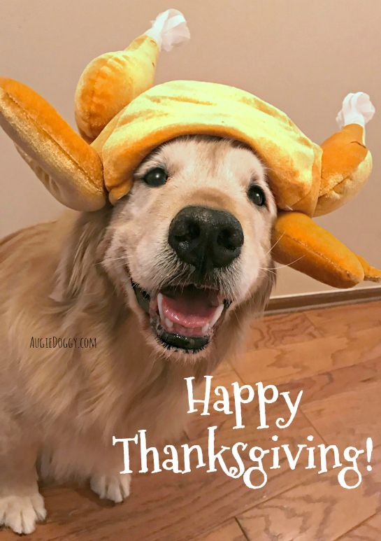 Happy Thanksgiving from Ti! #goldenRetriever | Cute animals, Dog lovers,  Cute dogs