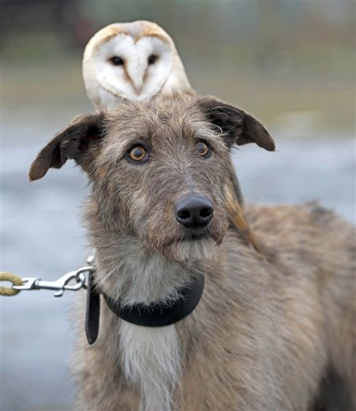 Willow the Owl and Merlin the Dog often go on walks together at the Pen y Bryn Falconry center in North Wales.  They are the best of friends.