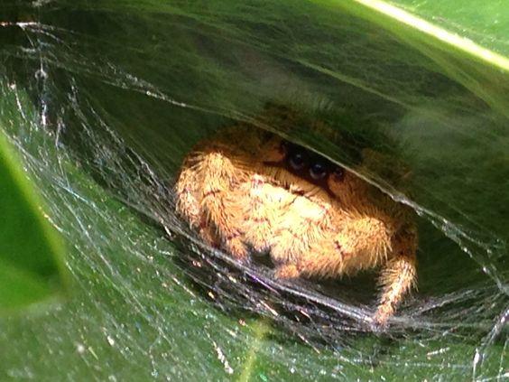 Araña saltarina escondida