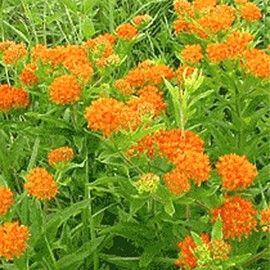 Gay butterfly = Asclépiade tubéreuse orange