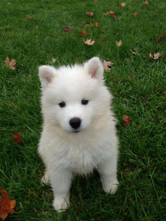 Comment, Samoyed and Puppys on Pinterest