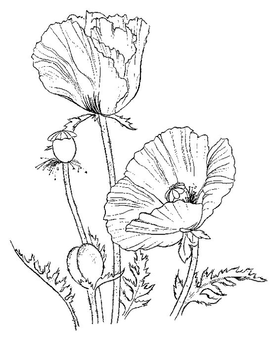Flower coloring pages Poppies Coloring Free printable