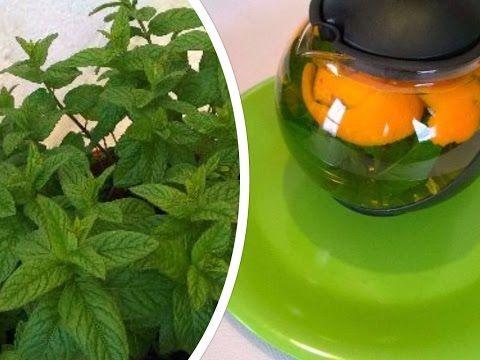 سر نجاح زراعة النعناع في البيت وعمل شاي للتخلص من انتفاخات لا يفوتكم Growing Mint Youtube