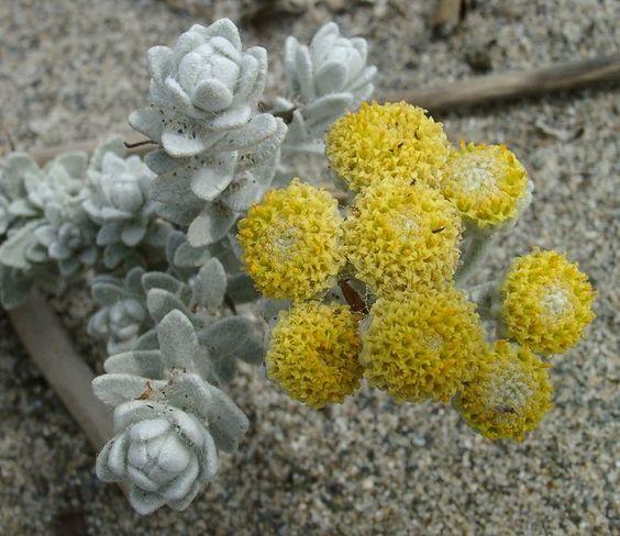Otantus maritimus - Cordeirinhos-da-praia