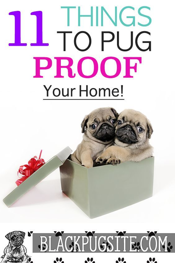 Pug Proofing How To Pug Proof Your Home The Right Way Black Pug