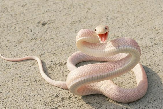 An Albino Black Mamba ~ The black mamba (Dendroaspis polylepis), also called the common black mamba or black-mouthed mamba, is the longest venomous snake in Africa, averaging around 2.5 to 3.2 m (8.2 to 10 ft) in length, and sometimes growing to lengths of 4.45 m (14.6 ft). It is named for the black colour of the inside of the mouth rather than the colour of its scales which varies from dull yellowish-green to a gun-metal grey. A bite from a black mamba is almost always fatal. (cont...)