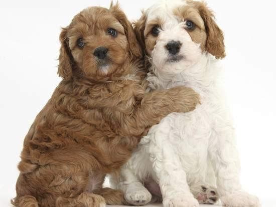 Cute Red And Red And White Cavapoo Puppies 5 Weeks Hugging