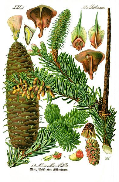 fir botanical illustration @wikimediacommons #illustration #botanical #print