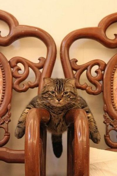 what?: Cats Cats, Chair, Kitty Cats, Funny Cats, Crazy Cat, Kitty Kitty, Funny Animal, Cat S, Cat Lady