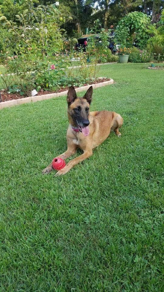 Adopt Phoenix On Adoption Malinois Dog Belgian Shepherd