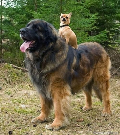"We're here with your smile of the day, ""Chihuahua Rides Leonberger."":"