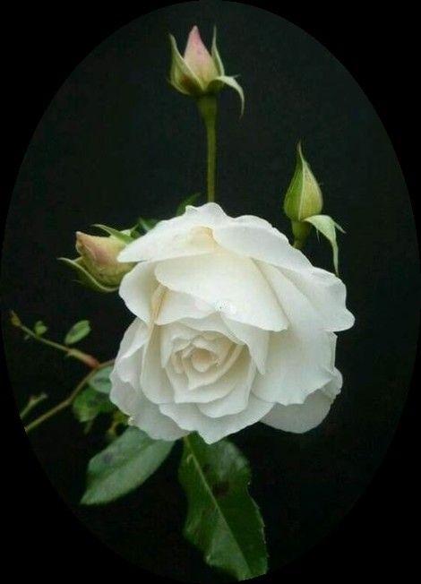 الل ه ــــــــــــــــــــــــــم أنت العالم بالسرائر فأصلحها وأنت العالم بالحوائج فاقضها Beautiful Rose Flowers Beautiful Flowers Beautiful Roses