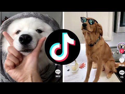 Tik Tok Compilation Cutest And Funniest Dogs Youtube Funny Dogs Dogs Cute Dogs