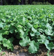 Rape..cabbage related ....Excellent forage for swine, sheep, and young stock.    Dwarf Essex Rape is a succulent, cabbage-related plant that will persist well after the first frost. Seed at 5-10 lb./acre April through August. Ready to pasture 6-8 weeks after sowing.