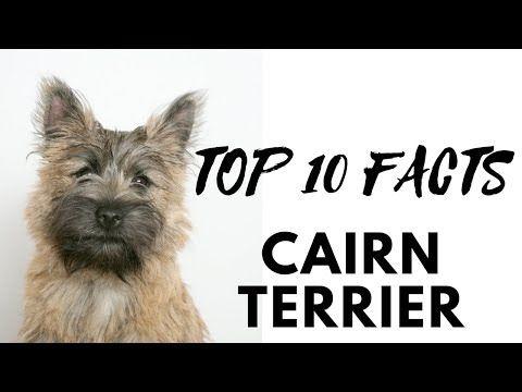 Trimming Cairn Terrier Wmv Youtube Cairn Terrier Terrier Pets