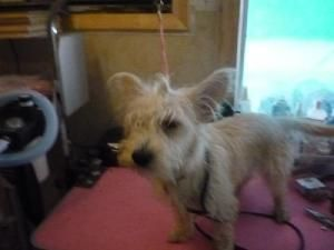 Rocky is an adoptable Skye Terrier Dog in Wolfe City, TX. ~~~~~~~~~~~~~~~~~~~~~~~~~~~~~~~~~~~~~~~~~~~~~~~~~~~~~~~ We are an all volunteer organization. All our pets are spayed/neutered, UTD on vaccina...
