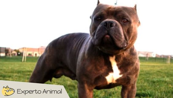 El perro Bully