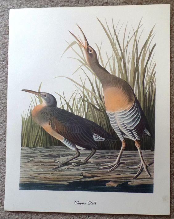 """Audubon Bird Print - """"""""CLAPPER RAIL"""""""" - Lithograph - c1960"""