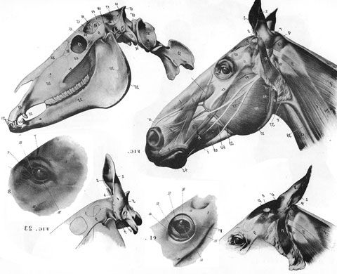 Horse Head Skeleton Horse Anatomy By Herman Dittrich Head And