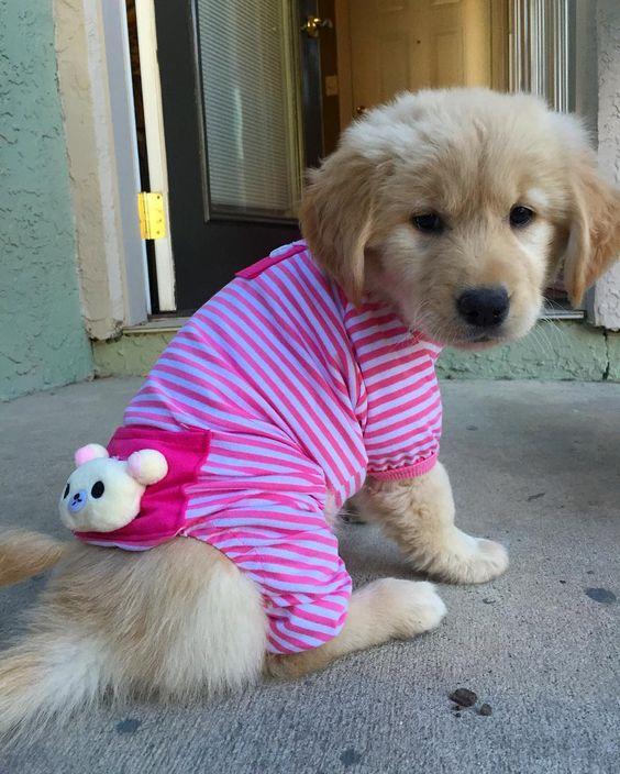 I'm just going to stay in my pajamas all day! I need my puppy rest! #pupsinpajamas . . . #goldensofinstagram #goldens_ofinstagram #ilovegolden_retrievers #goldenretrieversofinstagram #gloriousgoldens #welovegoldens #welovegoldenretrievers #goldenretriever #goldenretrievers #dogsofinstagram #puppy #puppiesofinstagram #goldenoftheday #puppyoftheday #thedailygolden #golden_friends #goldenretrieverpuppy #retrieversgrams #puppysketch #thedailyretriever #mydogiscutest #puppytrip #puppyoverload #dog_features #retrieveroftheday #petofix #dogsofinstaworld #Austin #ATX by raisingmaisie