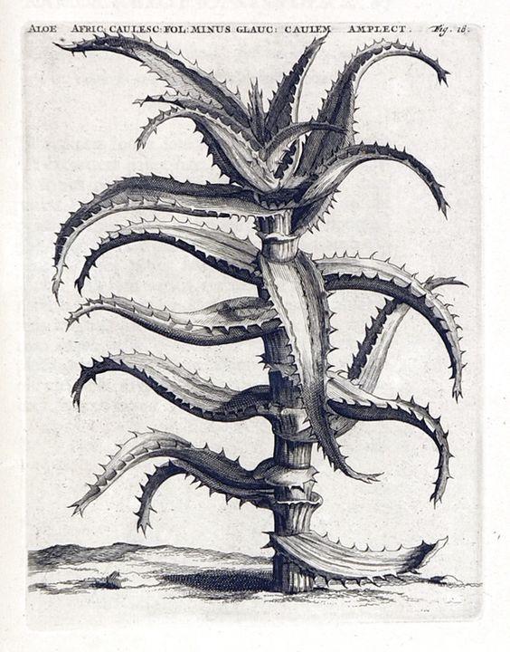 Casparus Commelin, leiden, 1715