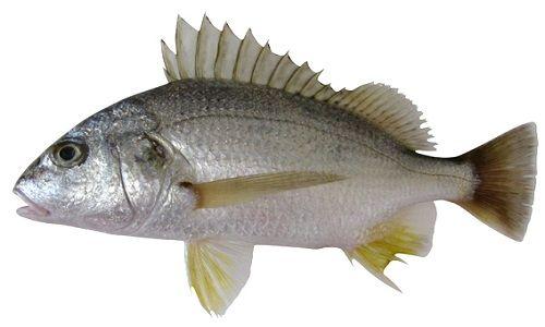 كل المعلومات عن سمك شخرم وأنواعه وشرح طريقة طهيه Fish Meat