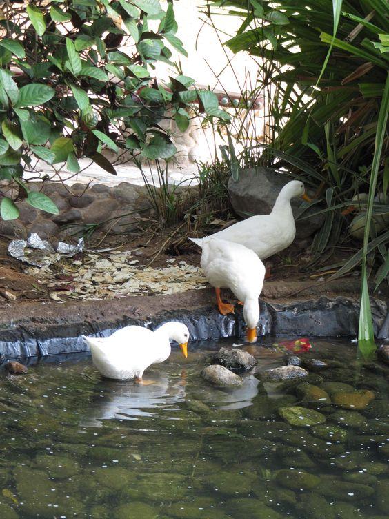 Ducks, Heritage Village, Abu Dhabi