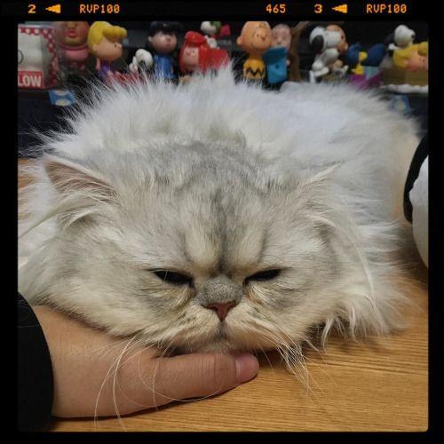 あたしもこーやってお家で寝てたい(ŏŏ) 駅で改札にも入れないだったらもっと遅く出てくればよかったよ #... Follow us on Instagram :D #cats #cat #catlover #lovecats #funny #fun #cute #socute #feline #felines #felinefriend #fur #furry #paw #paws #kitten #kitty #kittens #kittycat #kittylove #fluffy #fluff