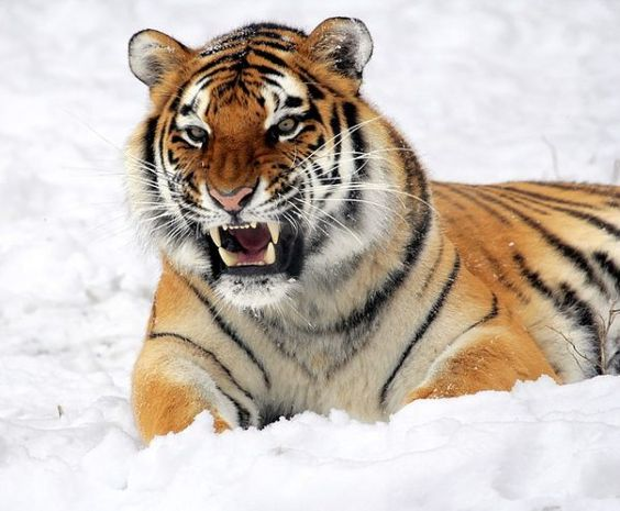 Learn How Long Do Tigers Live And Get A Know The Tiger Lifespan Of Each Tiger Subspecies We Have Listed Down The Tiger Pictures Wild Tiger Endangered Animals
