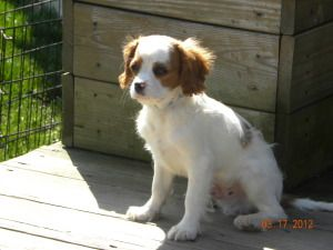 I want a puppy!    Neal-in Ohio is an adoptable Cavalier King Charles Spaniel Dog in Avon Lake, OH. 3/22/12 Neal is a typical sweet little Cavalier. He is 4 months old and looking for a family to love. Birthday 11-10-11...