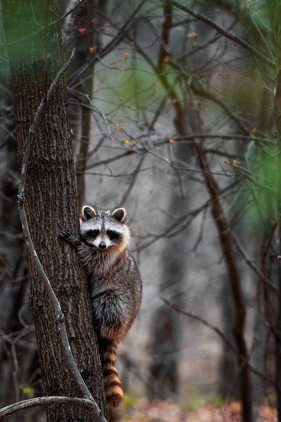**Raccoon in the woods.