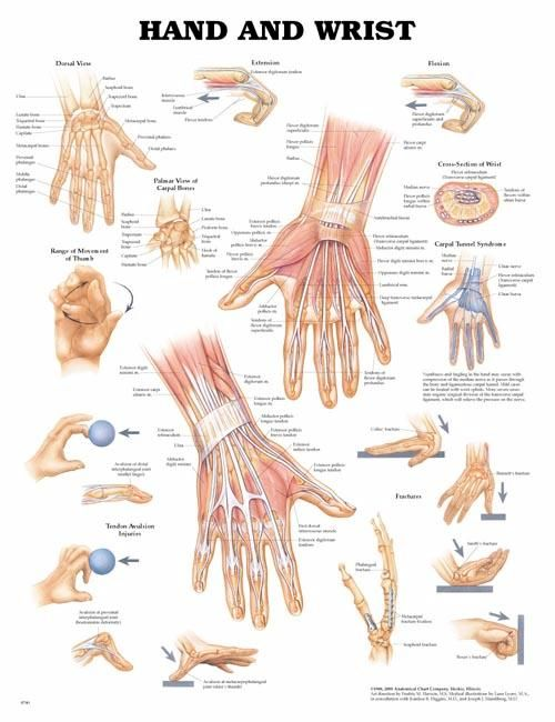 Hand & Wrist. Repinned by SOS Inc. Resources.  Follow all our boards at http://pinterest.com/sostherapy  for therapy resources.