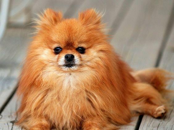 70 Cute Male Dog Names Cute Male Dog Names Pomeranian Dog Dog Breeds
