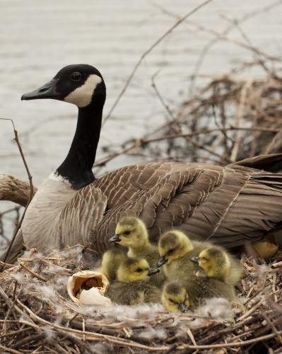 Newborn goslings (we had pet Canada geese growing up ...