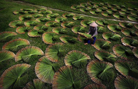Plant Harvest Image, Vietnam