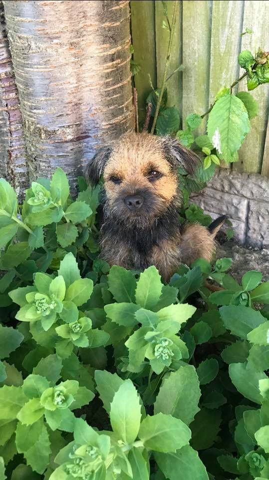 Pin By Eileen Zaldonis On Border Terriers Border Terrier Baby