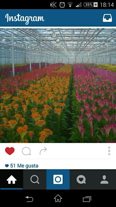 #celosías #cut flower #celosíacristata