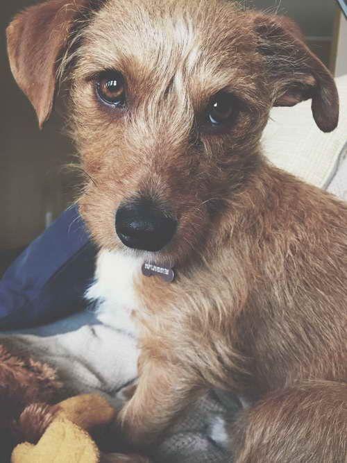 Dachshund Terrier Mix For Adoption Terrier Mix Terrier Dog Breeder