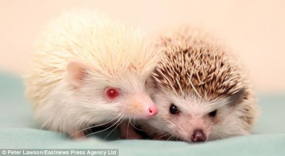 Extra, the rare albino African Pygmy hedgehog, has befriended Elsie, the black and white African Pygmy